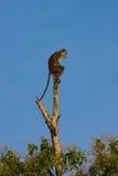 Fallhammer auf dem Baum Stockfoto