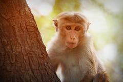 Fallhammer auf dem Baum Sri Lanka lizenzfreies stockfoto