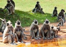Fallhammer auf Sri Lanka Lizenzfreie Stockfotografie