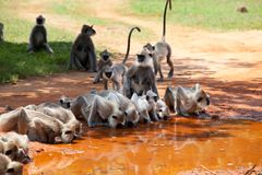 Fallhammer auf Sri Lanka Stockfotografie