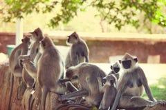 Fallhammer auf Sri Lanka Lizenzfreies Stockfoto