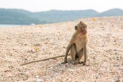 Fallhammer Befestigungsklammer-Essen von Macaque Asien Thailand Lizenzfreies Stockbild
