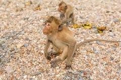 Fallhammer Befestigungsklammer-Essen von Macaque Asien Thailand Lizenzfreies Stockfoto