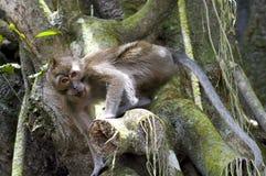 Fallhammer in den Dschungeln. Lizenzfreies Stockfoto