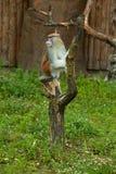 Fallhammer, der auf Baum sitzt Lizenzfreies Stockfoto