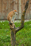 Fallhammer, der auf Baum und dem Essen sitzt Stockfotografie