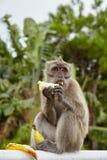Fallhammer, der eine Banane isst Stockfotografie