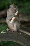 Fallhammer, der Körner isst Lizenzfreie Stockfotografie