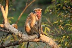 Fallhammer in der lebenden Natur Land von Sri Lanka Stockfotos