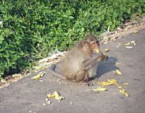 Fallhammer essen Banane Stockfotos