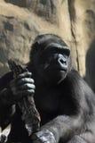 Fallhammer. Gorilla. Lizenzfreies Stockbild