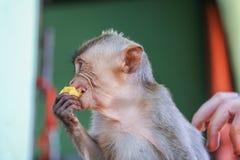 Fallhammer isst Banane Stockfotografie