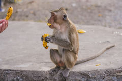 Fallhammer isst Banane Stockfoto