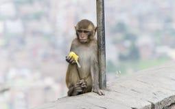Affe in Nepal Lizenzfreie Stockbilder