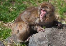 Fallhammers des Macaque-(Schnee) Stockbild