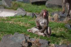 Fallhammers des Macaque-(Schnee) Stockfoto