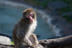 Fallhammers des Macaque-(Schnee) Lizenzfreie Stockfotos