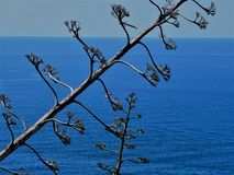 Dry agave flowers at the seashore in Cinque Terre, Italy, with blue sea in the background royalty free stock photos