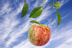 Falling apple Royalty Free Stock Image