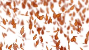 Falling autumn brown oak tree leaves. Fall weather. Wind and dry leaves. Seamless video HD footage. White background Vector Illustration