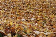 Falling autumn colored leaves carpet. Autumn colored rusty leaves carpet stock photo