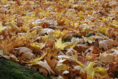 Falling autumn colored leaves carpet Royalty Free Stock Photography