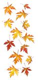 Falling autumn or fall leaves. Isolated on a white background royalty free stock photo
