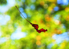 Falling autumn leaf. A falling autumn leaf with a green bokeh royalty free stock photo