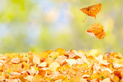 Falling Autumn Leaves. Two leaves falling to the ground Stock Photo