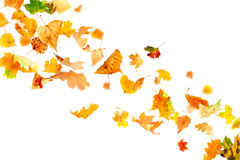 Falling Autumn Leaves. Multi colored leaves falling and spinning isolated on white background Stock Images
