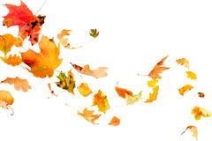 Falling Autumn Leaves. Multi colored leaves falling and spinning isolated on white background Royalty Free Stock Images