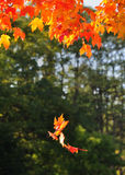 Falling Autumn Leaves. Colorful leaves falling from an autumn tree royalty free stock photography