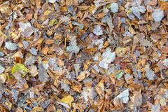 Falling autumn leaves. Falling aun leaves. Leaves as a natural background stock image