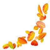 Falling Autumn Leaves. Bright falling autumn leaves isolated on white royalty free stock images