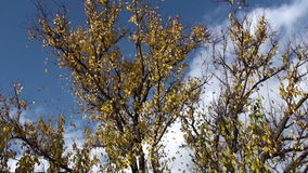 Falling Autumn Leaves Hd stock video footage