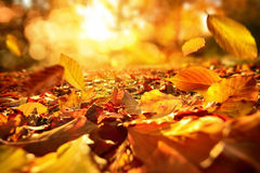 Falling Autumn leaves in lively sunlight. Lively closeup of falling autumn leaves with vibrant backlight from the sun Stock Images