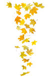 Falling autumn leaves. Falling autumn maple leaves isolated on white background royalty free stock photos