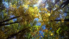 Falling autumn leaves from a tree, slowmotion stock video footage