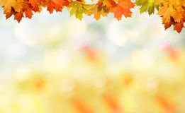 Falling autumn maple leaves natural background . Royalty Free Stock Image