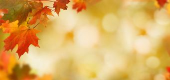 Falling autumn maple leaves natural background . Stock Photo