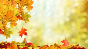 Falling autumn maple leaves natural background. Colorful foliage royalty free stock image