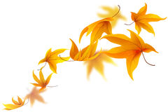 Falling autumn maple leaves Stock Images