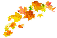 Falling autumn maple leaves royalty free stock image