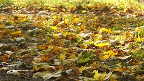 Falling autumn maple leaves. Falling yellow autumn maple leaves stock video