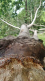 Falling big tree after strong strom Royalty Free Stock Photo