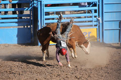 Falling bull rider Royalty Free Stock Photo