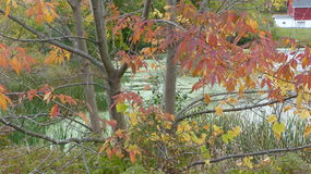 Falling Colored Leaves. These two small trees are losing their colorful Autumn leaves next to a marsh Royalty Free Stock Photos