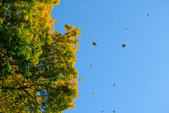 Falling Colorful Autumn Leafs and Tree over Deep Blue Sky Royalty Free Stock Image