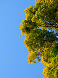 Falling Colorful Autumn Leafs and Tree over Deep Blue Sky Royalty Free Stock Photos