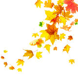 Falling colorful autumn maple stock images